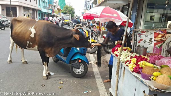 cows on street in india