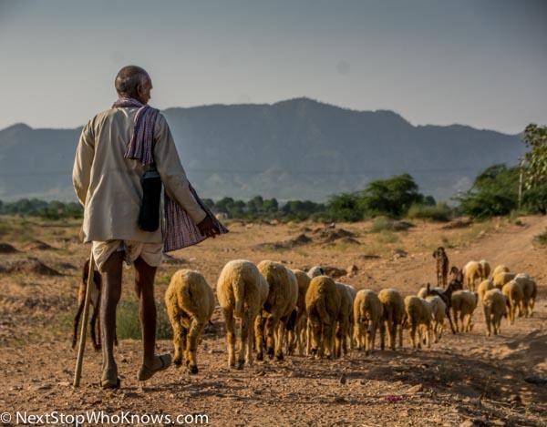 shepherd india