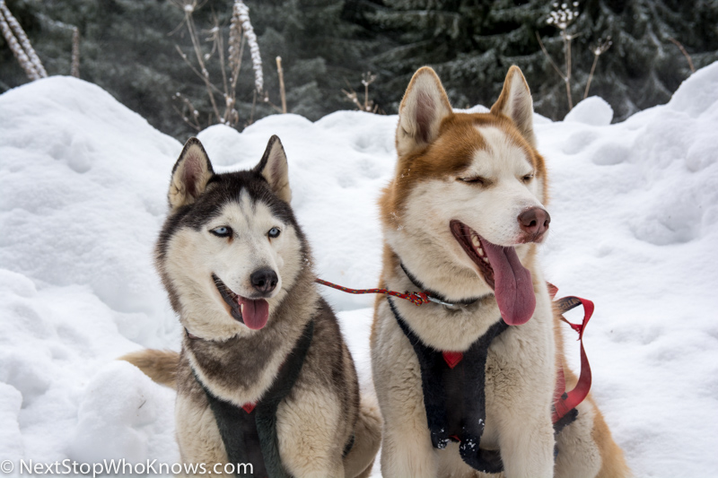 husky sledding in Bulgaria