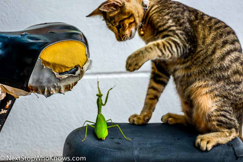 Cat vs Mantis, Koh Phi Phi, Thailand
