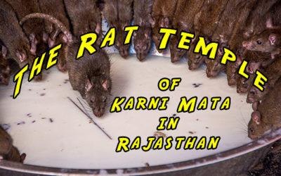 The Rat Temple of Karni Mata in Rajasthan