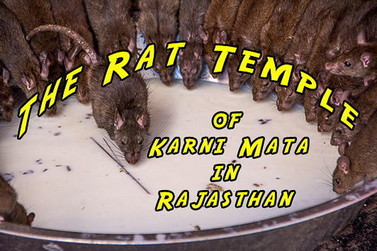 The Rat Temple of Karni Mata in Rajasthan
