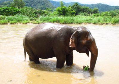 Elephant Bathing in Chiang Mai, Thailand
