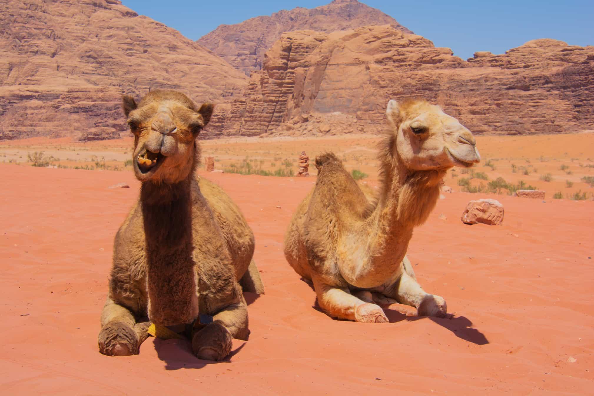 camels relaxing in wadi rum